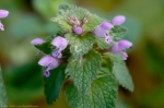 Promenade Purple Deadnettle