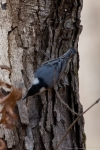 Floral Trail Red Breasted Nuthatch
