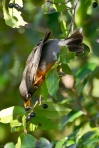 Tufa Terrace American Robin