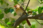 Tufa Terrace Female Cardinal