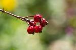 Tufa Terrace Wild Rosehips