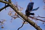 Hot Springs National Park Carriage Road Blue Jay