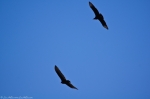 West Mountain Black and Turkey Vultures
