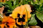 Hot Springs, AR Hill Wheatley Plaza Apricot Pansy