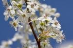 Hot Springs, AR Hill Wheatley Plaza Flowering Tree