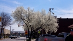 Hot Springs, AR Hill Wheatley Plaza Flowering Tree