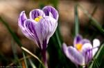 Hot Springs, AR Hill Wheatley Plaza Purple Crocus