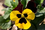 Hot Springs, AR Hill Wheatley Plaza Yellow Maroon Pansy
