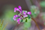 Hot Springs Mountain Road Purple Henbit Deadnettle