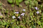 Hot Springs Mountain Trail Bluets
