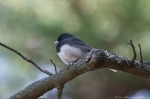 Hot Springs Mountain Trail Male Junco