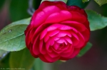 Hot Springs Arlington Hotel Rosy Camellia