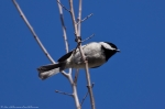 Hot Springs Central Avenue Carolina Chickadee