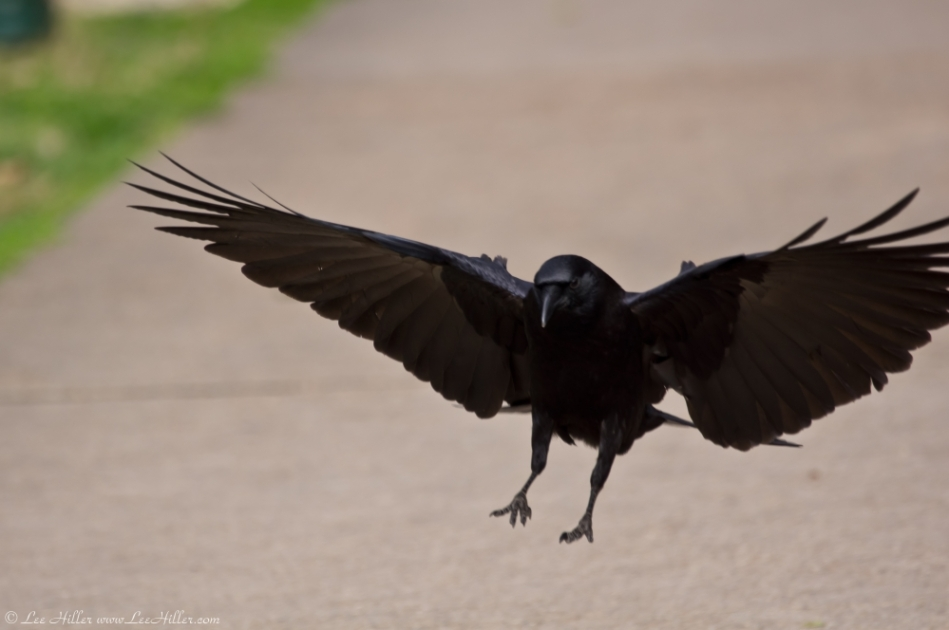 Hot Springs Fountain Street Crow