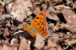 HSNP Fordyce Ricks Pond Question Mark Butterfly
