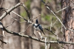 HSNP Fordyce Ricks Pond Belted Kingfisher