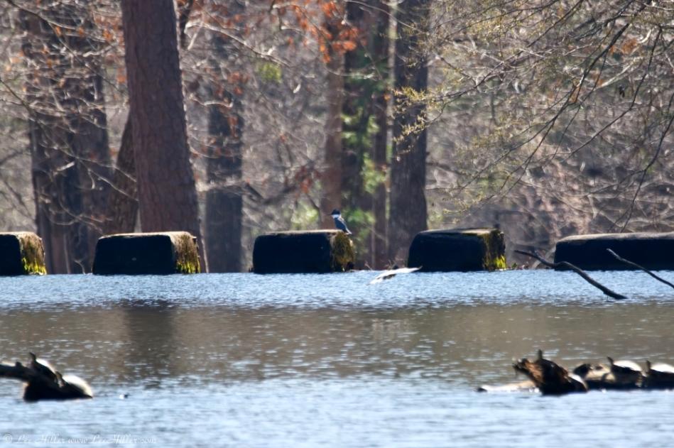 HSNP Fordyce Ricks Pond Belted Kingfisher