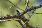 HSNP Fordyce Ricks Pond Carolina Chickadee