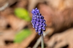 HSNP Fordyce Ricks Pond Grape Hyacinth