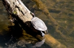 HSNP Fordyce Ricks Pond Sunning Turtles