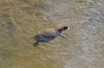 HSNP Fordyce Ricks Pond Swimming Turtles