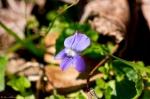 HSNP Fordyce Ricks Pond Wooly Blue Violet