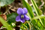 HSNP Fountain Street Lawn Wooly Blue Violet