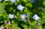 Hot Springs National Park Promenade Birds Eye Speedwell