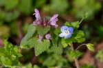 Hot Springs National Park Deadnettle Birds Eye Speedwell