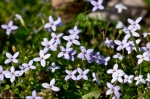 Hot Springs National Park Promenade Bluets
