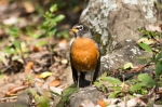 Hot Springs National Park Tufa Terrace Robin
