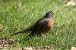 HSNP Arlington Lawn Juvenile Robin
