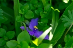 HSNP Promenade Purple Spiderwort