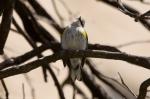 HSNP Promenade Yellow Rumped Warbler