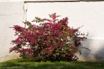 HSNP Lamar Bathhouse Fuchsia Flowering Bush