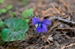 HSNP Pomander Lawn Wooly Blue Violet