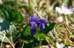 HSNP Promenade Lawn Wooly Blue Violet