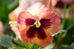 Wheatley Plaza Hot Springs Peach Rose Maroon Pansy