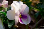 Wheatley Plaza Hot Springs Pink Violet Pansy