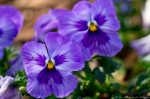 Wheatley Plaza Hot Springs Purple Pansy
