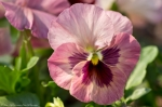 Wheatley Plaza Hot Springs Rose Violet Pansy