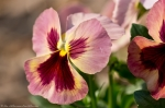Wheatley Plaza Hot Springs Rose Maroon Pansy