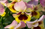 Wheatley Plaza Hot Springs Rose Yellow Maroon Pansy