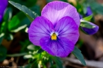 Wheatley Plaza Hot Springs Violet Pansy