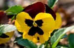 Wheatley Plaza Hot Springs Yellow Maroon Pansy