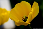 Wheatley Plaza Hot Springs Yellow Tulip