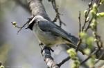 HSNP Promenade Spring Green Carolina Chickadee