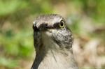 HSNP Promenade Juvenile Northern Mockingbird