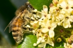 HSNP Promenade Honey Bee in Flowering Bush