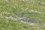 HSNP Promenade Lawn Spring Wildflowers